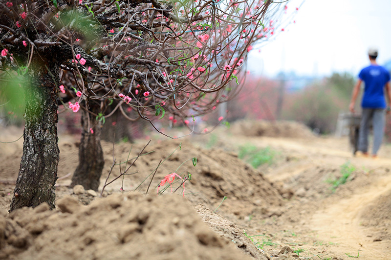 """Ngắm vườn đào """"xuyên hai thế kỷ"""" cực hiếm ở Hà Nội - 4"""