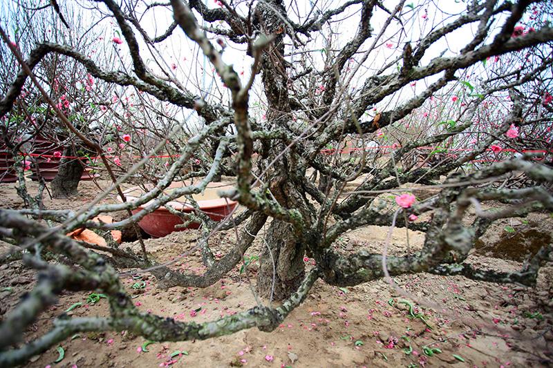 """Ngắm vườn đào """"xuyên hai thế kỷ"""" cực hiếm ở Hà Nội - 7"""