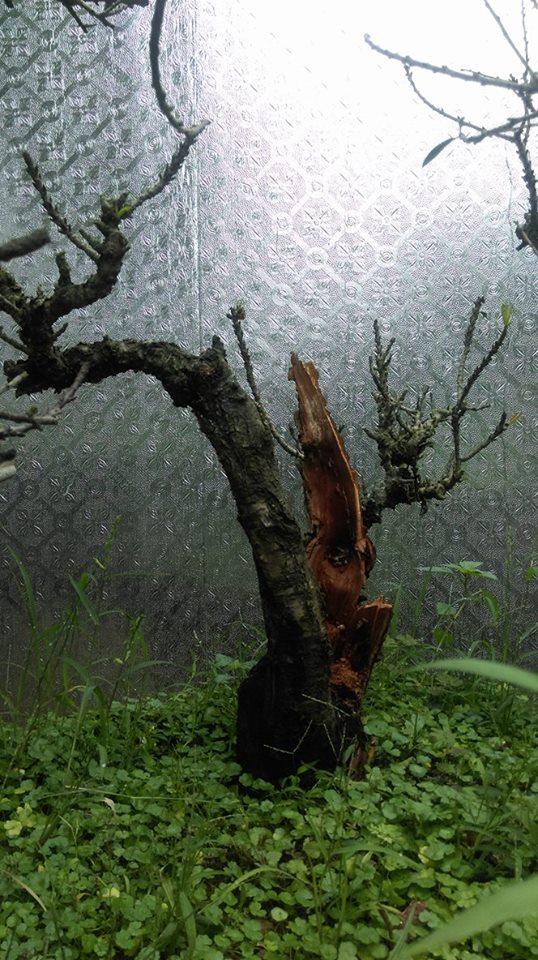 Chiêm ngưỡng những gốc đào thất thốn tuyệt đẹp đón Tết - 10