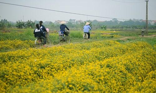 Vàng óng cánh đồng hoa tiến vua Hưng Yên - ảnh 2