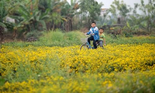 Vàng óng cánh đồng hoa tiến vua Hưng Yên - ảnh 10