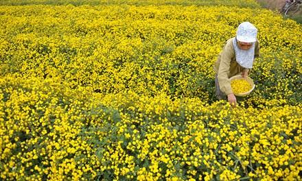 Vàng óng cánh đồng hoa tiến vua Hưng Yên - ảnh 1