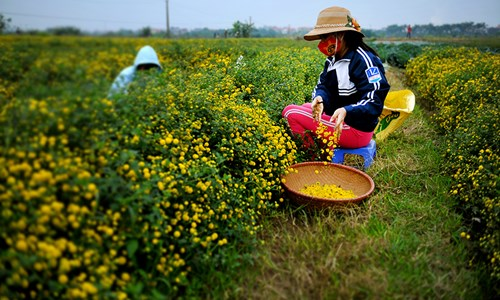 Vàng óng cánh đồng hoa tiến vua Hưng Yên - ảnh 7