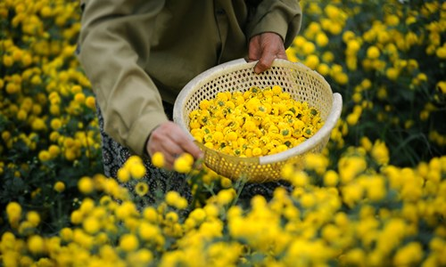 Vàng óng cánh đồng hoa tiến vua Hưng Yên - ảnh 5