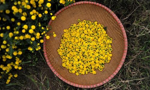 Vàng óng cánh đồng hoa tiến vua Hưng Yên - ảnh 8