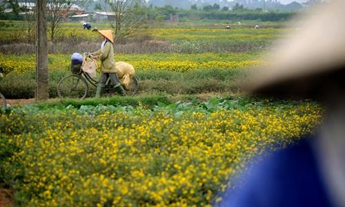 Vàng óng cánh đồng hoa tiến vua Hưng Yên - ảnh 9