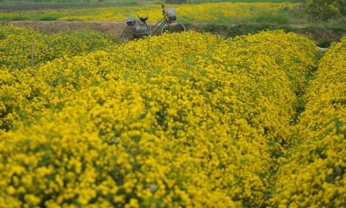 Vàng óng cánh đồng hoa tiến vua Hưng Yên - ảnh 3