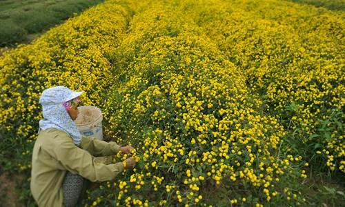 Vàng óng cánh đồng hoa tiến vua Hưng Yên - ảnh 4