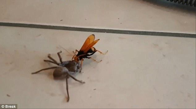 Video: Ong khổng lồ tha nhện thợ săn về tổ ăn thịt - ảnh 1