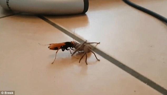 Video: Ong khổng lồ tha nhện thợ săn về tổ ăn thịt - ảnh 2
