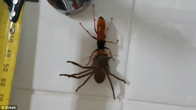 Video: Ong khổng lồ tha nhện thợ săn về tổ ăn thịt - ảnh 3