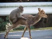 Bắt gặp khỉ định làm  chuyện ấy  với hươu ở Nhật