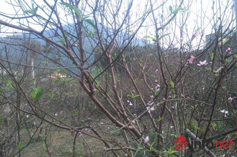 Làng trồng đào phai hàng trăm hecta lớn nhất xứ Thanh - ảnh 1