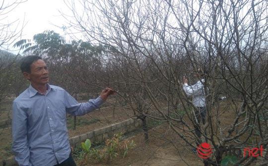 Làng trồng đào phai hàng trăm hecta lớn nhất xứ Thanh - ảnh 2