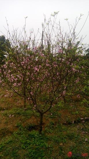 Làng trồng đào phai hàng trăm hecta lớn nhất xứ Thanh - ảnh 3