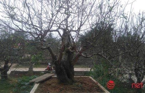 Làng trồng đào phai hàng trăm hecta lớn nhất xứ Thanh - ảnh 4