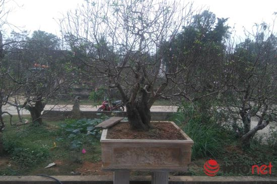 Làng trồng đào phai hàng trăm hecta lớn nhất xứ Thanh - ảnh 5