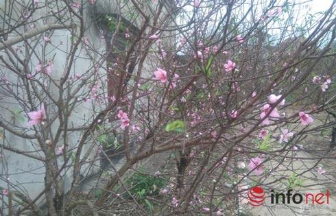 Làng trồng đào phai hàng trăm hecta lớn nhất xứ Thanh - ảnh 6
