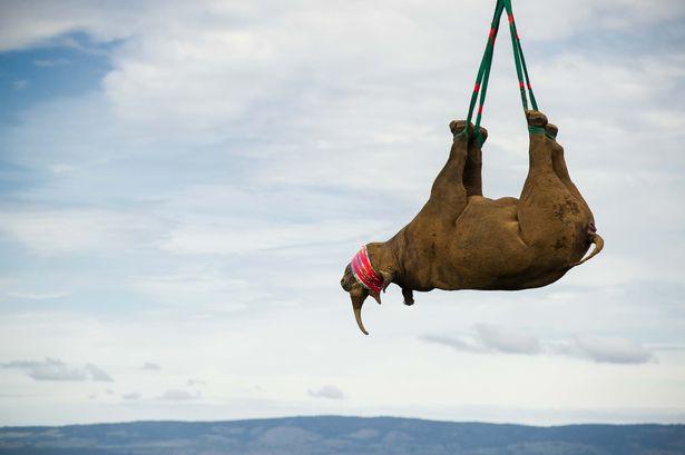 """Tê giác Nam Phi 1 tấn """"bay lên mây"""" để tránh săn trộm - ảnh 1"""