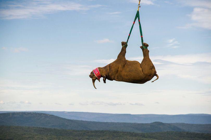 """Tê giác Nam Phi 1 tấn """"bay lên mây"""" để tránh săn trộm - ảnh 2"""