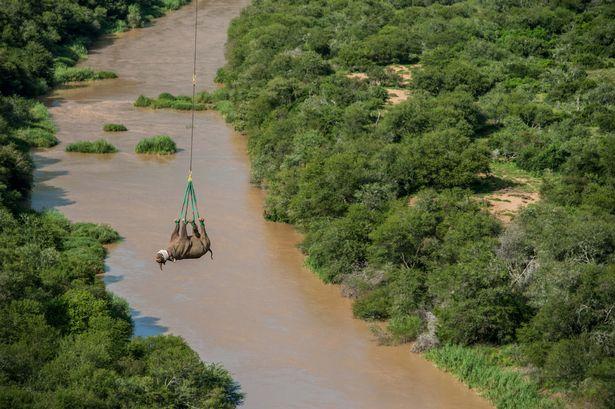 """Tê giác Nam Phi 1 tấn """"bay lên mây"""" để tránh săn trộm - ảnh 4"""