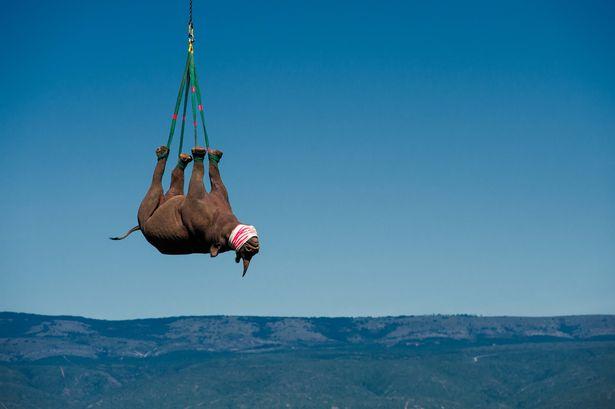 """Tê giác Nam Phi 1 tấn """"bay lên mây"""" để tránh săn trộm - ảnh 3"""