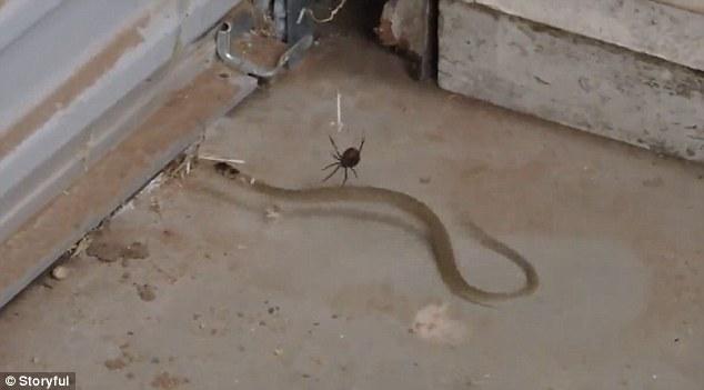 Rắn lớn lơ lửng, giãy giụa bất lực trong tơ nhện lưng đỏ - ảnh 1