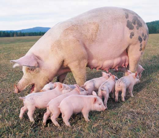 """""""Thịt lợn trà xanh"""" có thật sự bổ dưỡng? - ảnh 1"""