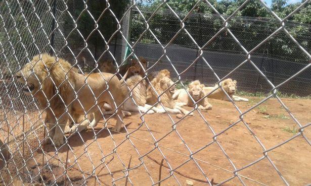 Lẻn vào khu sinh thái, chặt đầu 3 sư tử Nam Phi - ảnh 1