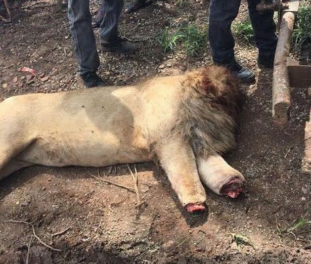 Lẻn vào khu sinh thái, chặt đầu 3 sư tử Nam Phi - ảnh 3