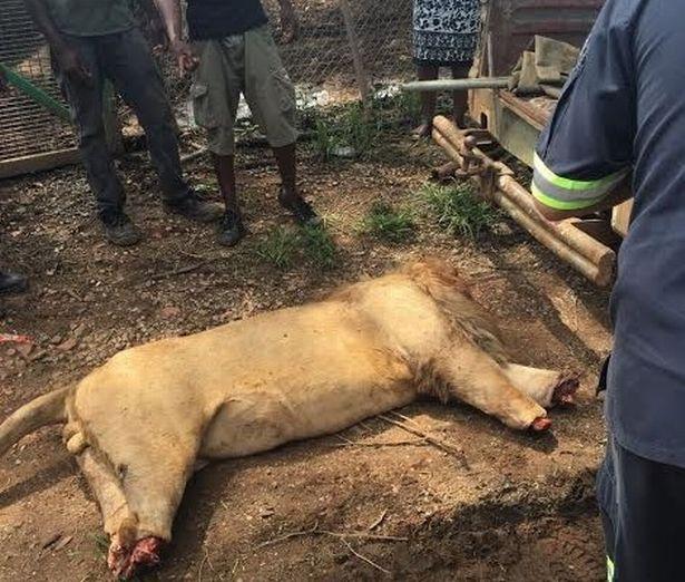 Lẻn vào khu sinh thái, chặt đầu 3 sư tử Nam Phi - ảnh 2