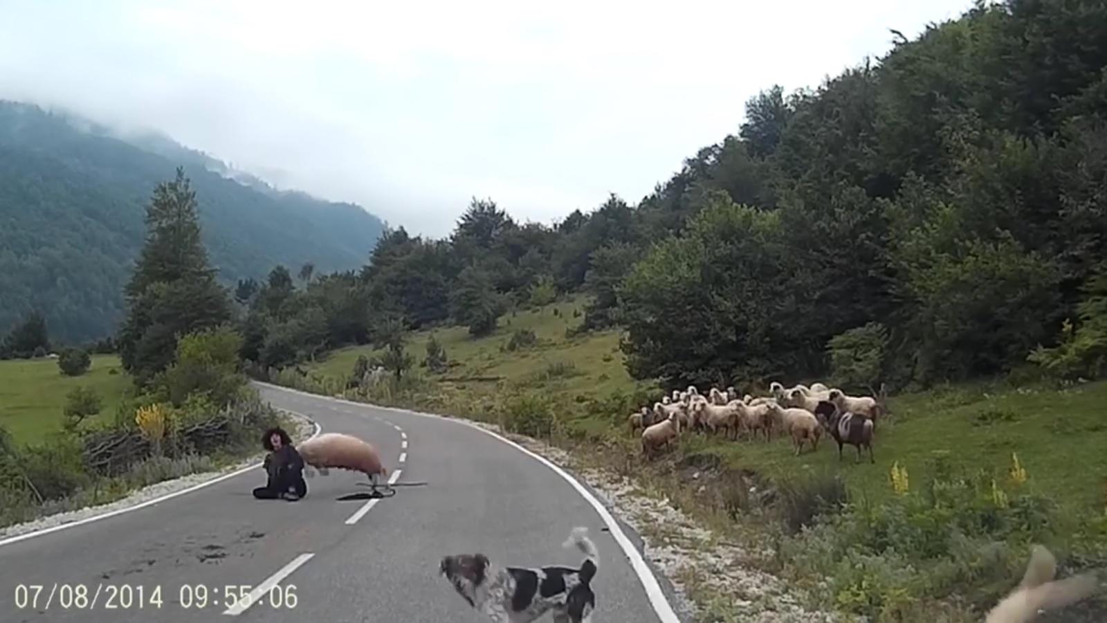 Cừu hung hãn húc ngã người chăn như trút hận thù - ảnh 2