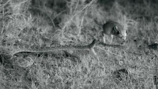 Lần đầu tiên ghi được cảnh rắn đuôi chuông săn chuột túi