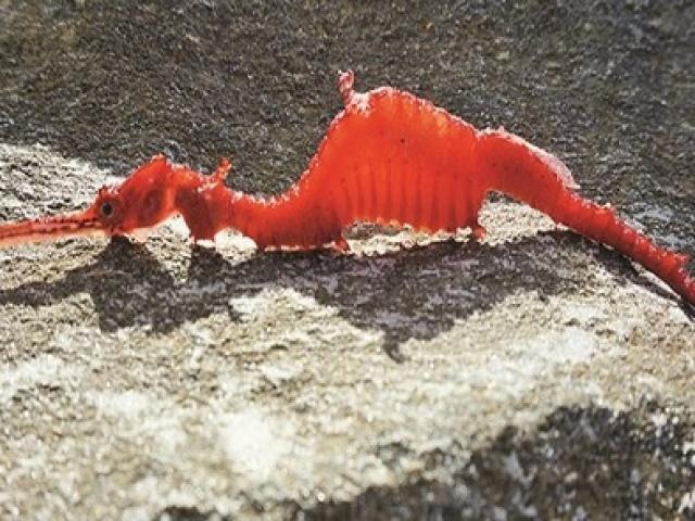 Lần đầu tiên ghi hình cá rồng biển màu hồng ngọc bí ẩn