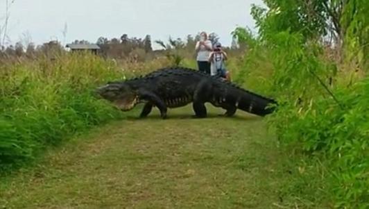 Mỹ: Cá sấu to như khủng long lừ lừ đi qua mặt du khách