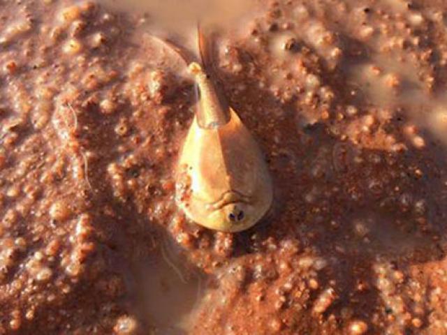 """Tôm """"hóa thạch sống"""" hồi sinh sau nhiều năm vùi sa mạc"""