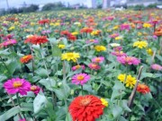 """Tin tức trong ngày - Ngắm """"bức tranh"""" sắc màu trên những ruộng hoa Tết ở Sài Gòn"""