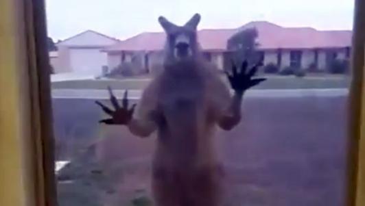 """Úc: Chuột túi """"giận dữ"""" đập cửa kính nhà dân đòi vào trong"""