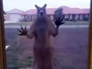 Úc: Chuột túi  giận dữ  đập cửa kính nhà dân đòi vào trong