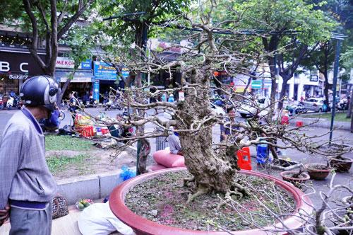 """Ngắm mai """"hái đồng"""", mai """"độc thủ đại hiệp"""" ở chợ hoa Tết Sài Gòn - 2"""