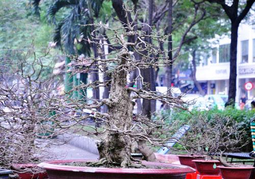 """Ngắm mai """"hái đồng"""", mai """"độc thủ đại hiệp"""" ở chợ hoa Tết Sài Gòn - 5"""