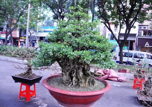 """Ngắm mai """"hái đồng"""", mai """"độc thủ đại hiệp"""" ở chợ hoa Tết Sài Gòn - 13"""