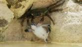 Video: Rùa con thoát chết thần kỳ khi bị cua phục kích