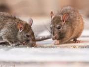 Chuột mang virus bệnh thận gây hoang mang ở Mỹ