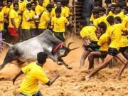Tham gia hội thuần hóa bò, hai người Ấn Độ bị húc chết