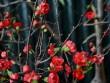 Thị trường - Tiêu dùng - Mai đỏ Trung Quốc: Tiền triệu một cây chơi Tết ở Thủ đô