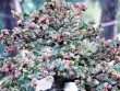 Tin tức trong ngày - Ngắm cây dâu hàng chục năm tuổi trái sum suê, chín mọng ở SG