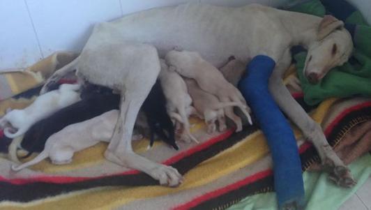 Chó mẹ gãy chân lặn lội 3km tìm người cứu đàn con nhỏ