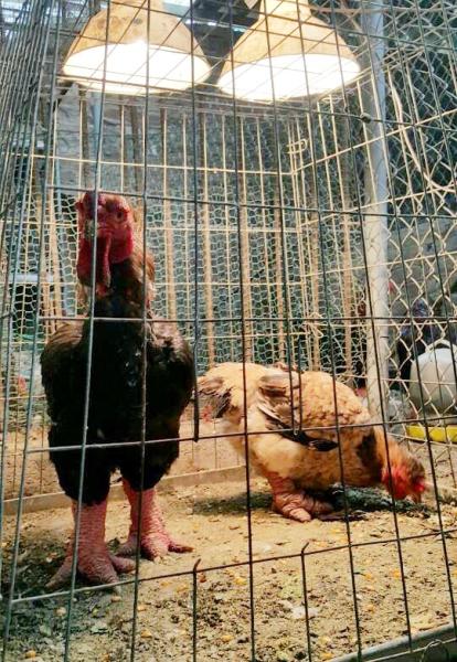 Ngắm cặp gà Đông Tảo có đôi chân đẹp nhất Việt Nam - 7