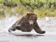 Gấu nâu 180kg  bay  trên không bắt cá hồi